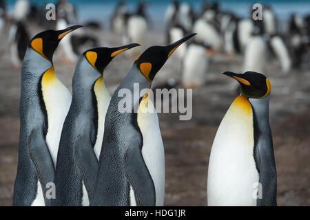 Le manchot royal (Aptenodytes patagonicus) sur l'Île Saunders