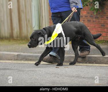 Labrador noir chien-guide pour les aveugles en descendant de la bordure Banque D'Images