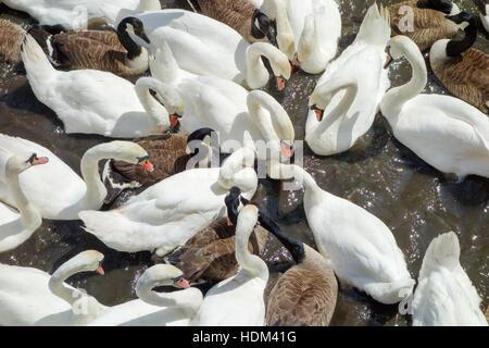 Les cygnes tuberculés et les bernaches du Canada s'engager dans une frénésie d'alimentation sur la rivière Avon, Banque D'Images