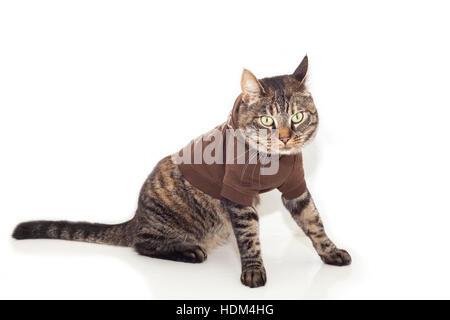 Image de chat tigré habillés dans un cavalier brun. Banque D'Images