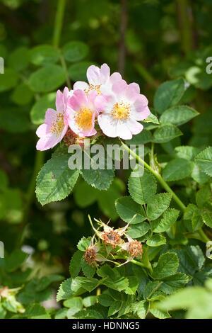 Wein-rose, weinrose zaunrose, schottische, rose, rosa rubiginosa, Wildrose, syn. Rosa eglanteria, Sweet Briar, eglantine Banque D'Images