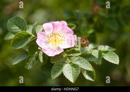Wein-Rose Weinrose Zaunrose,, Schottische, Rose, Rosa rubiginosa, Wildrose, syn. Rosa eglanteria, Sweet Briar, Eglantine Banque D'Images