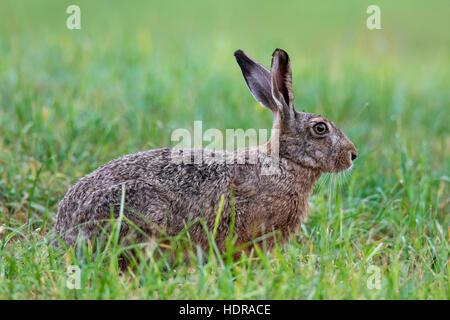 European Brown Hare (Lepus europaeus) assis dans les prairies Banque D'Images