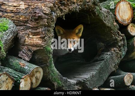 Le renard roux (Vulpes vulpes) en tronc d'arbre creux dans un tas de bois en forêt Banque D'Images