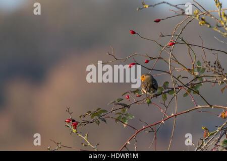 Robin (Erithacus rubecula aux abords) perchées dans un arbre entre les baies d'églantier rouge en hiver. La faune, Banque D'Images