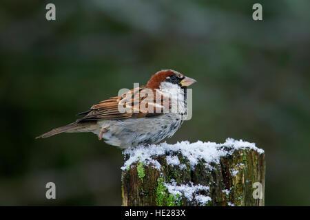 Moineau domestique (Passer domesticus) mâle perché sur clôture en bois post dans la neige en hiver