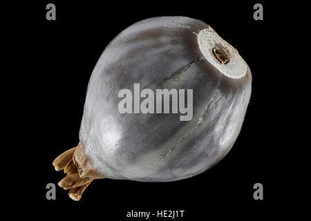 Coix lacryma-jobi, Job's-larmes, Hiobsträne, semences, Close up, le calibre des semences 8-10 mm Banque D'Images