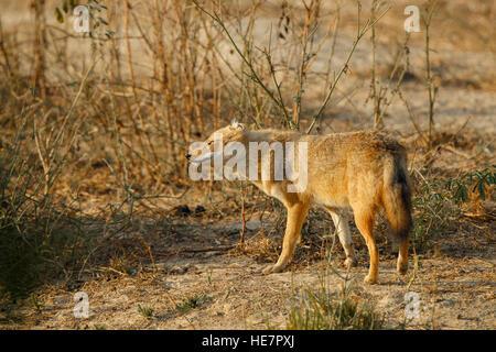 Indian chacals, Canis aureus indicus. Chacals sur dusty colorés dans la lumière du matin, parc national de Keoladeo Bharatpur, Rajasthan