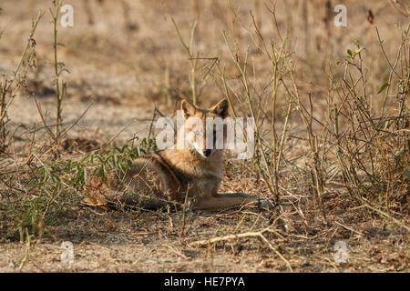 Indian chacals, Canis aureus indicus. Chacals sur dusty colorés dans la lumière du matin, regardant directement à l'appareil photo. Le parc national de Keoladeo