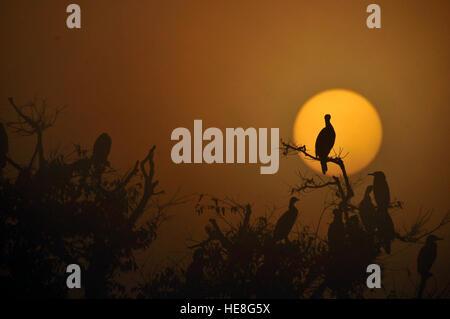 Katmandou, Népal. Dec 18, 2016. D'une migration d'oiseaux, cormoran se profilent lors d'un matin brumeux comme le Banque D'Images