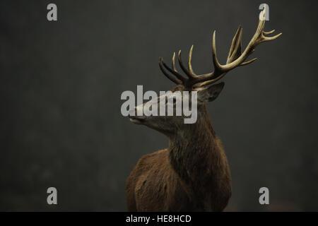 Red Deer à Richmond Park, Londres, Angleterre. Banque D'Images