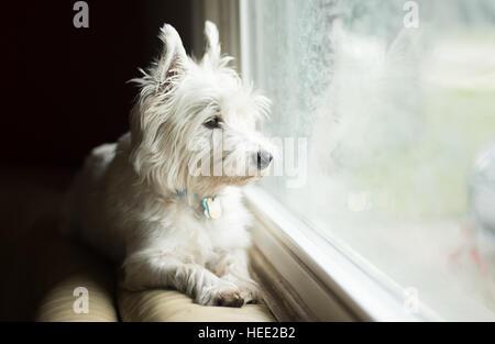 West Highland White Terrier Banque D'Images