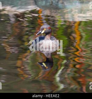L'Australasian Grebe, Tachybaptus novaehollandiae, nageant dans un étang à l'ouest de l'Australie. Banque D'Images