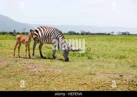Un adulte zèbre des plaines ou zèbre de Burchell (Equus quagga); avec de jeunes poulain, le pâturage dans le cratère Banque D'Images
