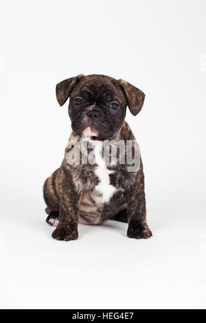 Bouledogue français (Canis lupus familiaris) puppy, assis, studio shot Banque D'Images