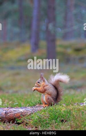 Alimentation L'Écureuil roux en hiver Banque D'Images