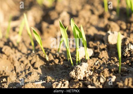 Détail de sprout plante poussant à partir de la terre avec le coucher du soleil la lumière. Banque D'Images