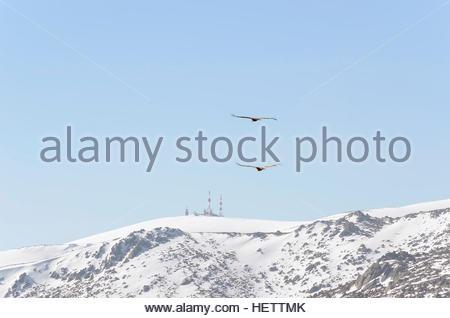 Paysage d'hiver. Parc régional de la Pedriza, à Madrid (Espagne). Guadarrama. Deux buses survolant les montagnes Banque D'Images