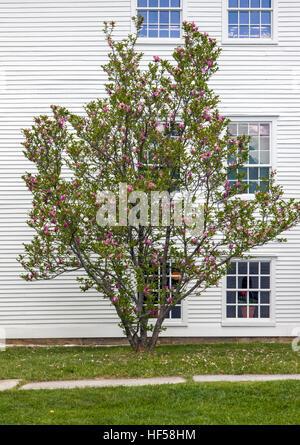 Lilas commun Syringa vulgaris;;; Fagaceae Canterbury Shaker Village, Canterbury, New Hampshire, USA