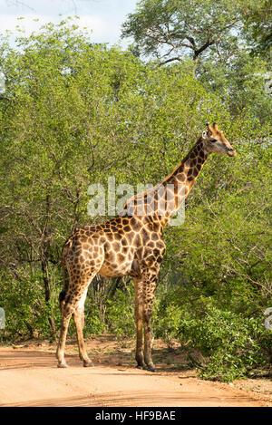 Le pâturage en forêt girafe Banque D'Images