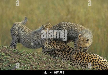 Le guépard, Acinonyx jubatus, mère et son petit jeu, parc de Masai Mara au Kenya Banque D'Images