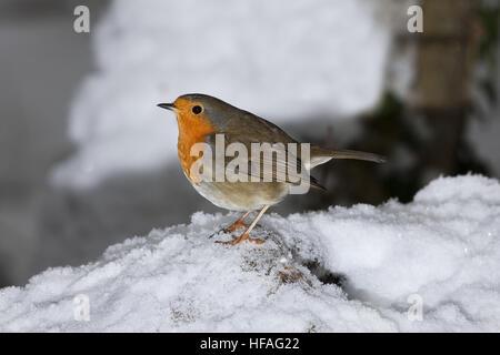 Rougegorge familier Erithacus rubecula aux abords, adultes, debout sur la neige, Normandie Banque D'Images