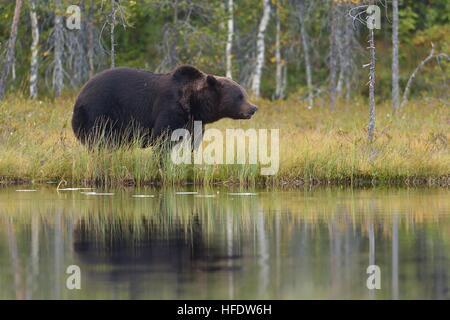 Ours brun près de l'eau Banque D'Images