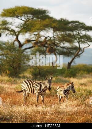 Zèbre des plaines (Equus quagga), avec de jeunes animaux, d'acacias à l'arrière, le parc national de Tsavo Ouest, Banque D'Images