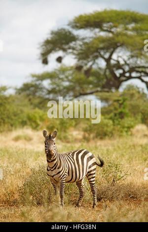 Zèbre des plaines (Equus quagga), acacias à l'arrière, le parc national de Tsavo Ouest, comté de Taita-Taveta, Kenya Banque D'Images