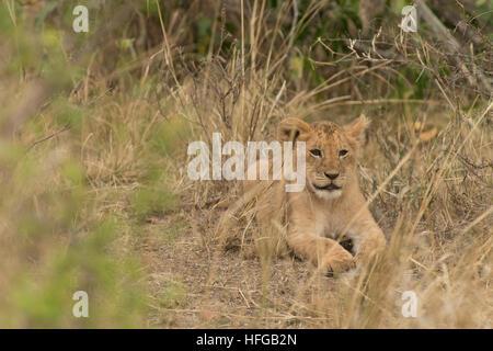 Lion cub lying et fixant Banque D'Images