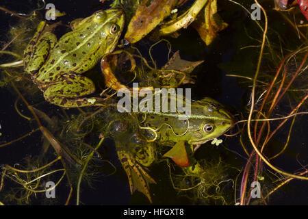 La grenouille verte dans l'étang, Rana esculenta, grenouille comestible, est assis dans l'eau entre le brun et vert Banque D'Images