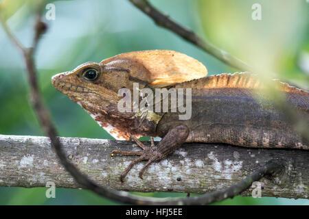 Basilisk Lizard - Green Cay Les zones humides, Boynton Beach, Floride, USA Banque D'Images