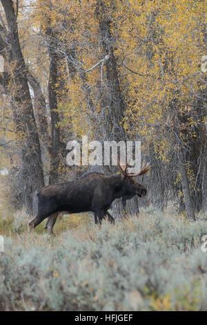 Bull Moose dans l'armoise Grand Tetons National Park