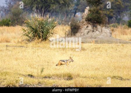 Le chacal à dos noir (Canis mesomelas) en face d'une termitière, Sandibe Camp, par le Moremi, Okavango Delta, Botswana, Banque D'Images