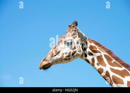 Portrait d'une girafe avec fond de ciel bleu clair Banque D'Images