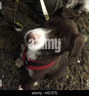 Rouge et blanc mignon chiot border collie dog pet Banque D'Images