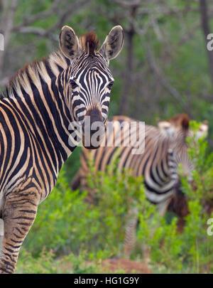 Le zèbre de Burchell Equus quagga burchellii S. Africa Natal Banque D'Images