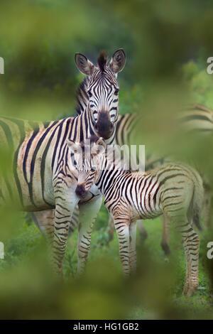 Le zèbre de Burchell (Equus quagga burchellii) Natal AFRIQUE DU SUD Banque D'Images