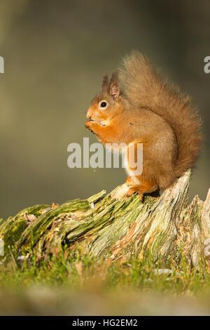 L'Écureuil roux (Sciurus vulgaris) manger des noix au pied d'un arbre Banque D'Images