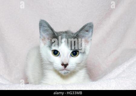 Les jeunes gris et blanc tabby kitten vieux de six semaines sur une couverture rose clair à l'avant Banque D'Images