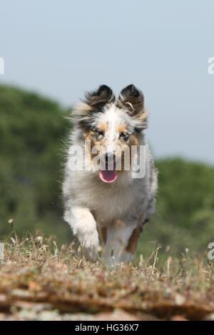 Shetland Sheepdog chien / chiot Sheltie (bleu merle) Banque D'Images