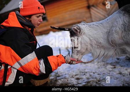 Jeune femme nourrit un renne dans l'élevage de rennes de Tuula Airamo, un S·mi descendant, par Muttus Lake. L'Inari, en Laponie, Finlande