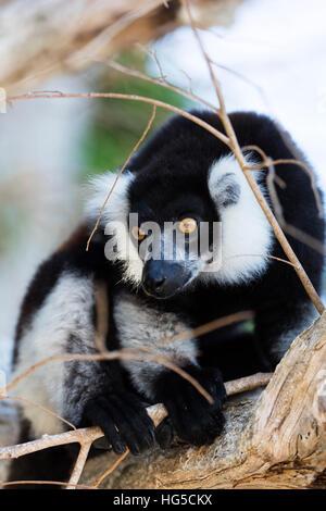 Homme noir et blanc de la gélinotte lemur (Le Varecia variegata), Nosy Iranja, zone nord Banque D'Images