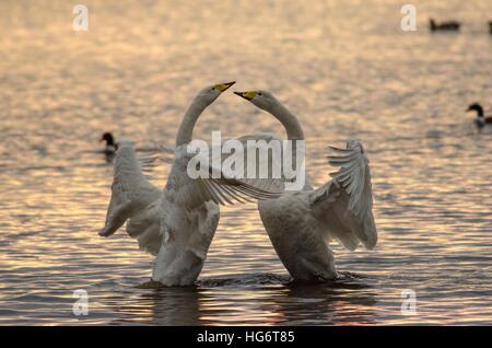 Cygne chanteur (Cygnus cygnus) pair dans une parade nuptiale sur un lac au coucher du soleil Banque D'Images