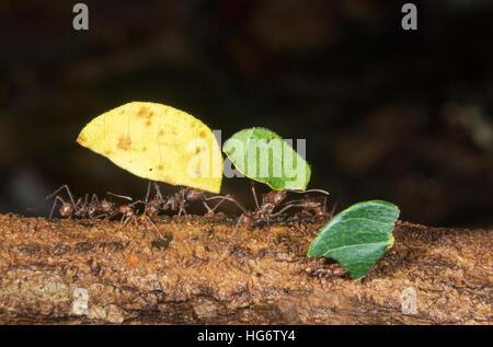 Les fourmis Atta colombica (osmia lignaria) transportant des morceaux de feuilles, Belize, Amérique Centrale Banque D'Images