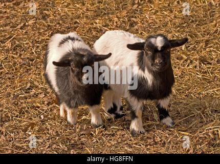 Deux très jeunes noir et blanc Montana évanouissement(Capra aegagrus hircus chèvres) Banque D'Images