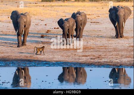 Grand troupeau d'éléphants africains de Hwange waterhole run Banque D'Images