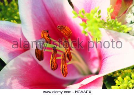 Gros plan d'une fleur de lys. Banque D'Images