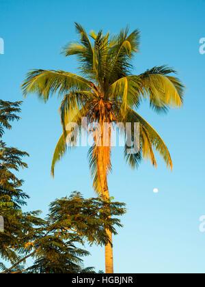 Coconut palm tree à Dili, au Timor oriental