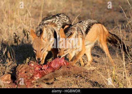 Chacal à dos noir (Canis mesomelas) les charognards sur une carcasse, Afrique du Sud Banque D'Images